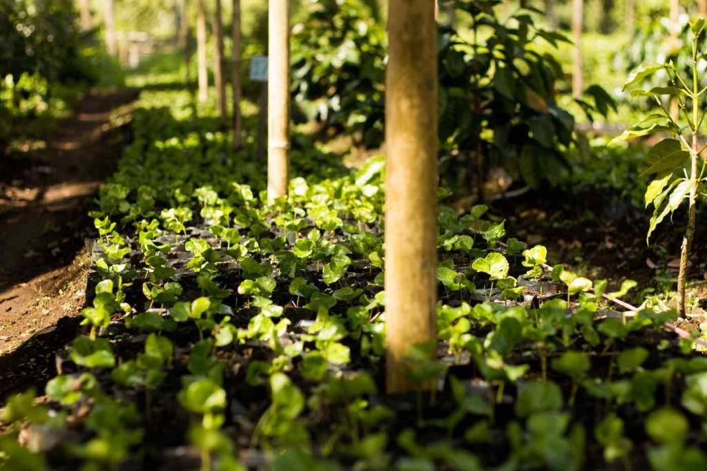 Coffee Seedlings